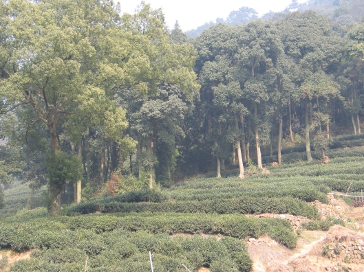 The tea fields around Hanzhou.