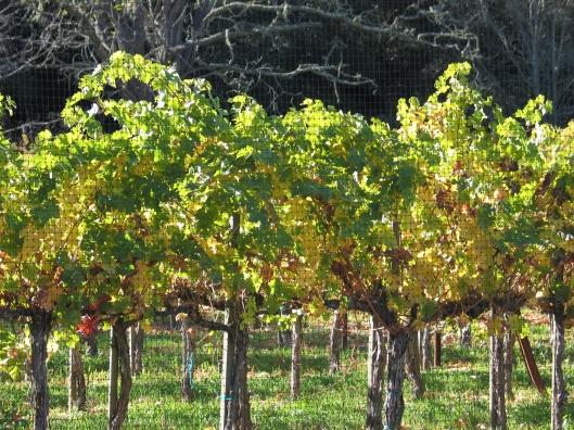 Vineyards on Foxen Road.