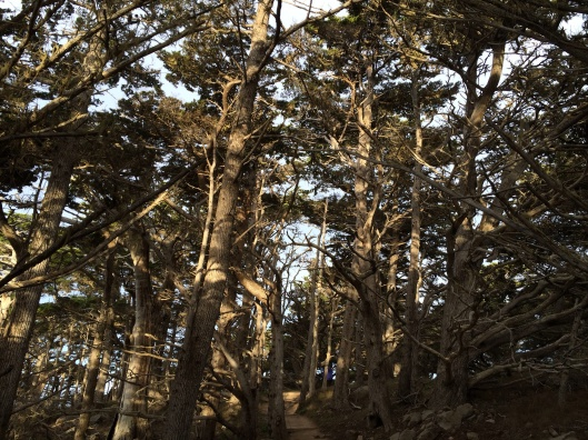 An ancient cypress grove in Pt. Lobos.