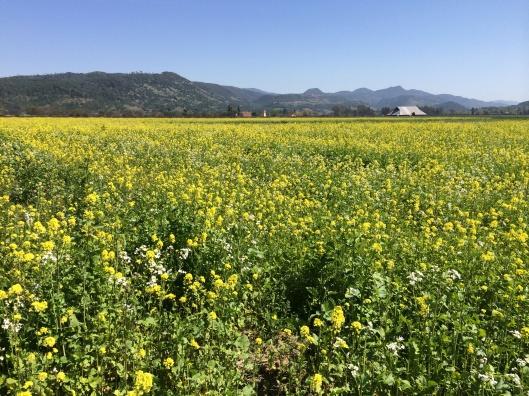 Mustard field at Honig Vineyards.