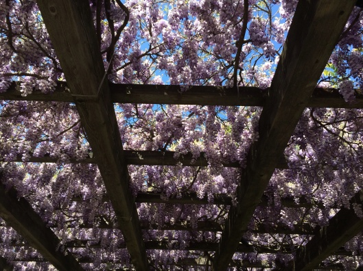 A wisteria pergola in full bloom at Heitz Cellars.