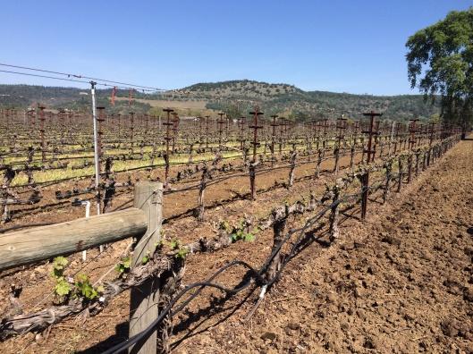 The vineyard of Honig Winery.