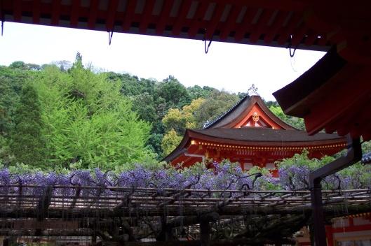 Japanese wisteria in Nara.