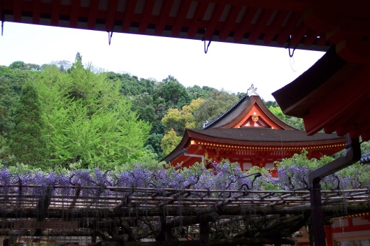 Japanese wisteria in Nara.