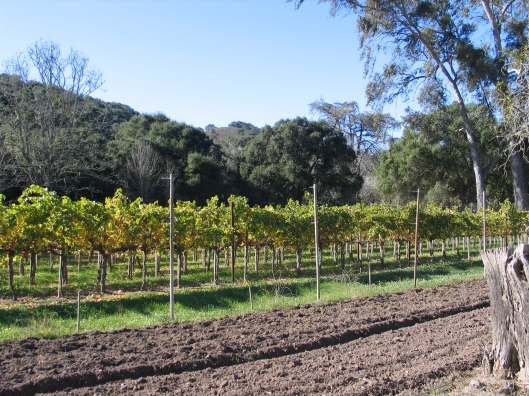 A dry vineyard by Foxen Winery.