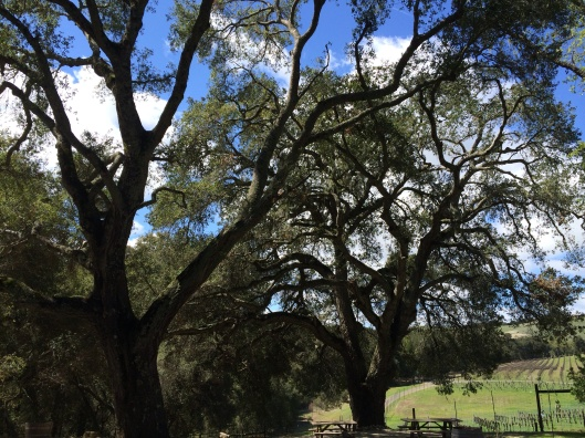 Oak trees at Dunning Vineyards.