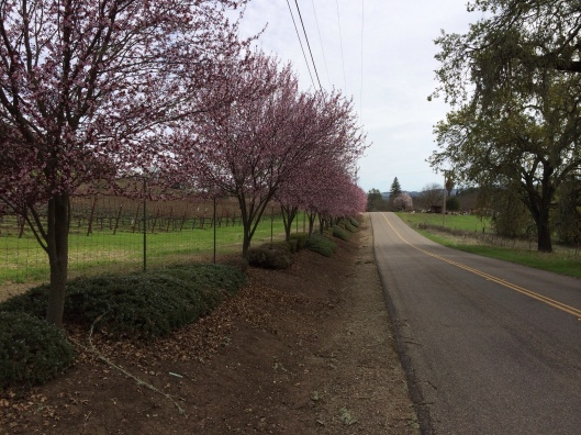 Wonderful blossoms on Vineyard Road.