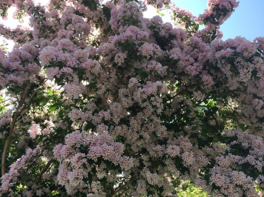 Lilacs in Stockbridge.