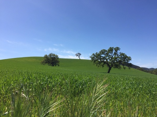 California spring scene in the Cetnral Coast wine country.