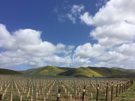 The vineyards of Cambria Winery.