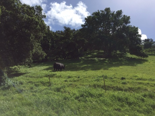 A pastroal cow enjoys the lush grass.