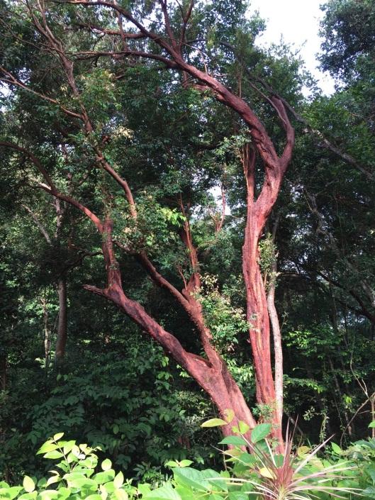 A stunning cassia tree.